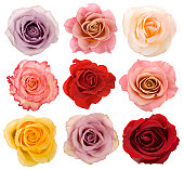 Selection of beautiful roses over white background.