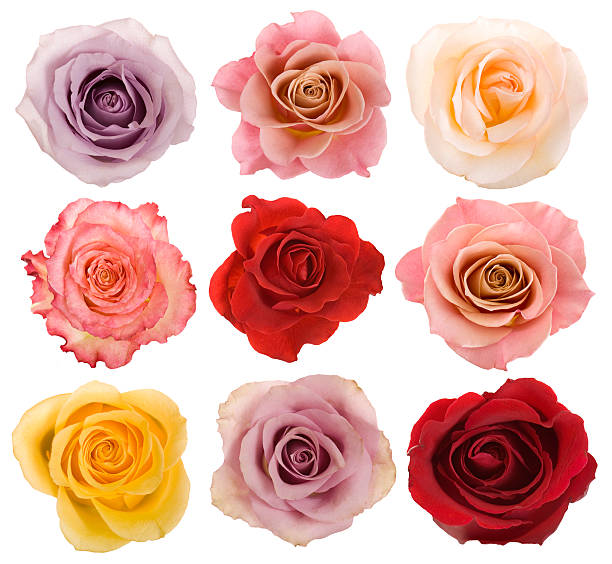 Selection of beautiful roses picture id157526611?b=1&k=6&m=157526611&s=612x612&w=0&h=o vh4mn615v rblmyezeb1 cst 0143q3ybqwwjjyny=
