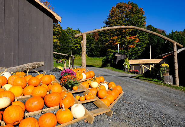 selection of halloween pumpkins on a us farm - hofladen stock-fotos und bilder