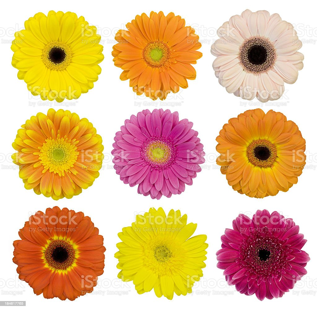 Selection of isolated Gerberas royalty-free stock photo
