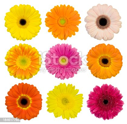 Collection of isolated Gerbera daisies. Montage.