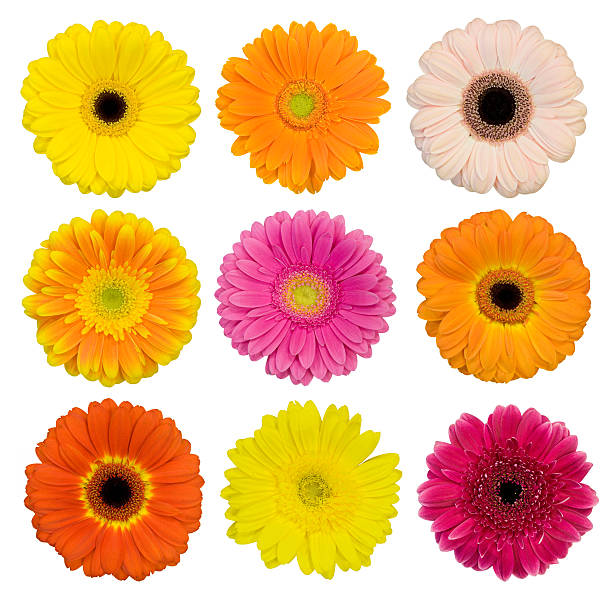 Selection of isolated Gerberas stock photo