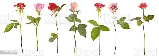 Selection of long stem roses picture id175235587?b=1&k=6&m=175235587&s=612x612&h=tfrhpdk0kggzj3 hvztxrpls9h dilnwd9euijlzft8=