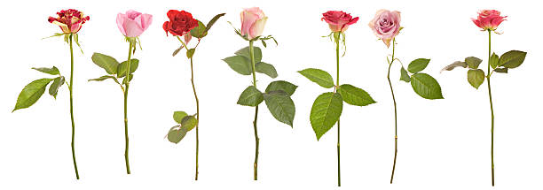 selection of long stem roses - plant stem stock pictures, royalty-free photos & images