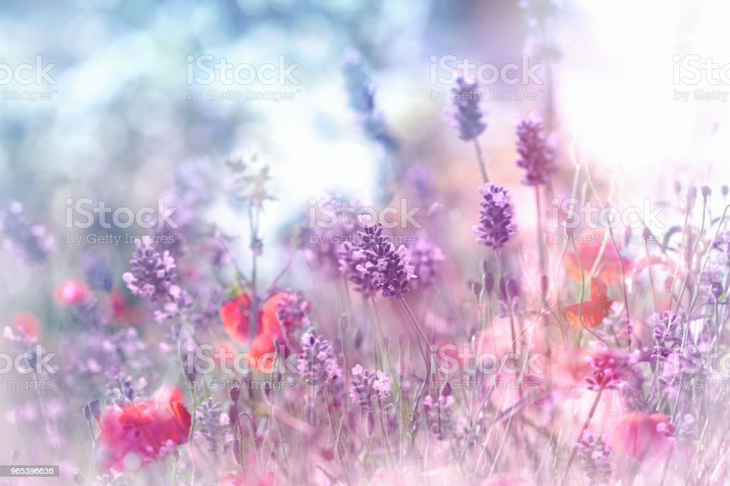 Selective and soft focus on lavender flower and poppy flower royalty-free stock photo