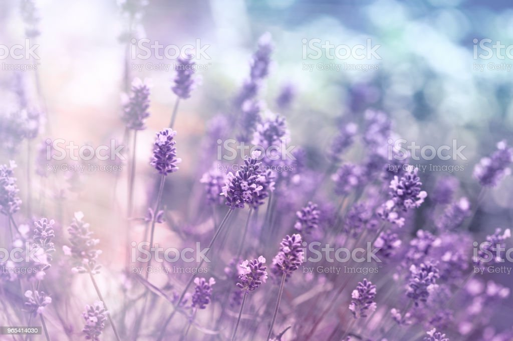 Selective and soft focus on lavender flower, beautiful lavender in flower garden royalty-free stock photo