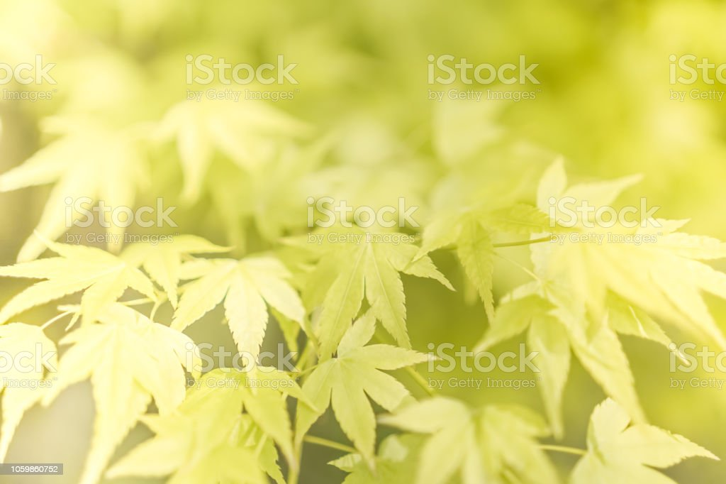 Selective focus closed up tropical summer green leaf background with sunlight. stock photo