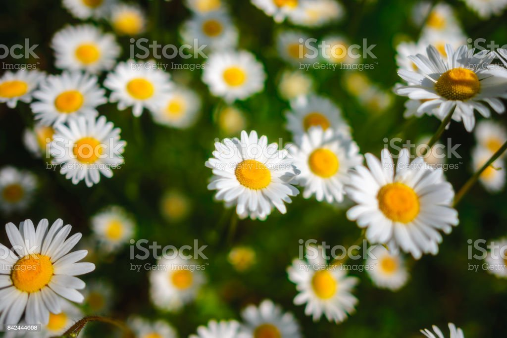 Selective focus daisy flowers - wild chamomile. Green grass and chamomiles in the nature stock photo