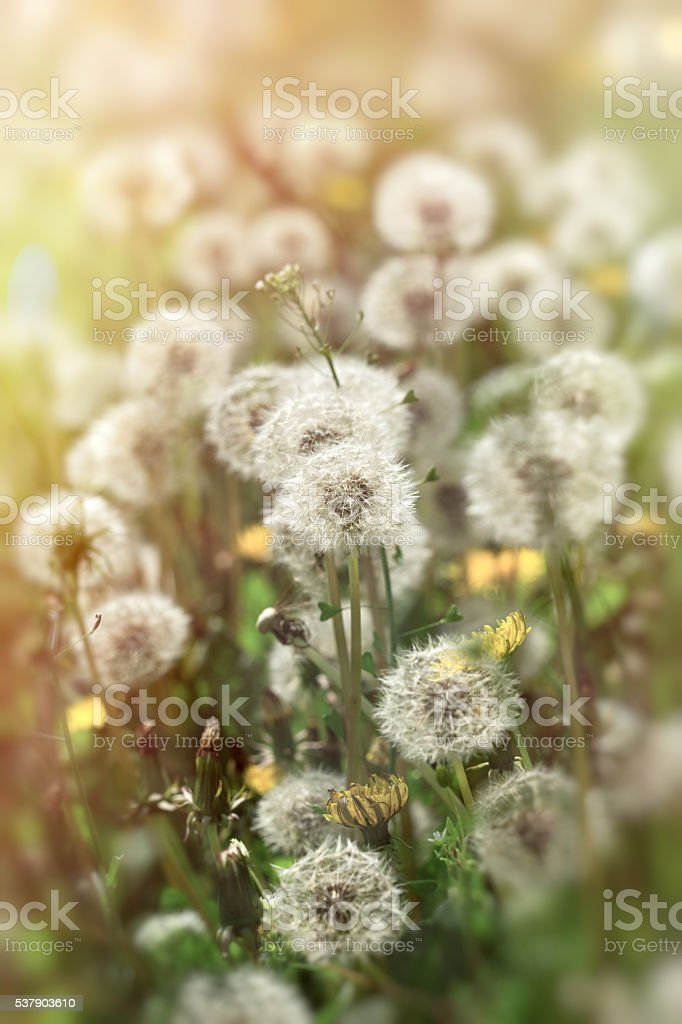 Selective focus dandelion seeds lit by sunlight stock photo