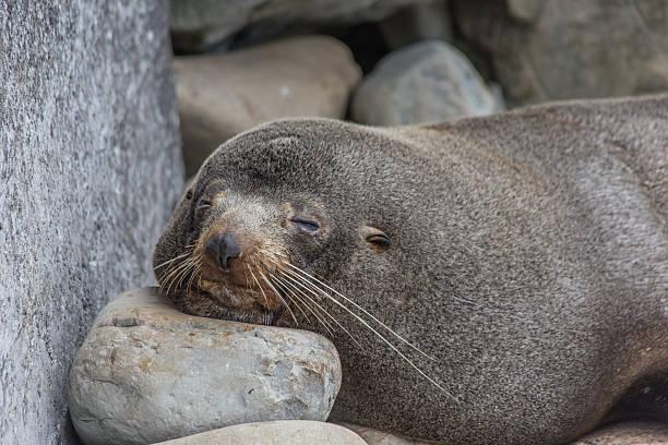 Selective focus of a lazy sleepy seal stock photo