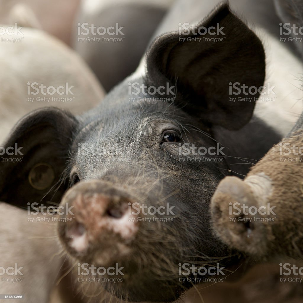 Selective focus of a pig. royalty-free stock photo