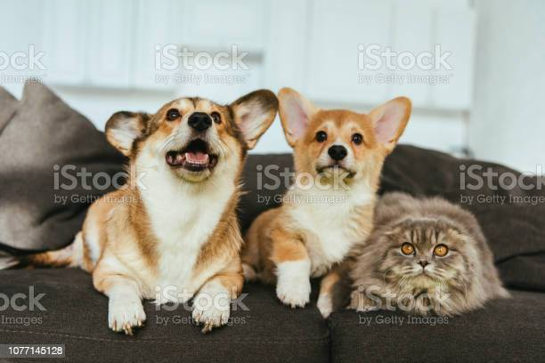 Selective focus of adorable welsh corgi dogs and british longhair cat picture id1077145128?b=1&k=6&m=1077145128&s=612x612&h=6vyopyunfexwbhvqb5qqqgjhw5l9rkkyxdunluqhtkw=