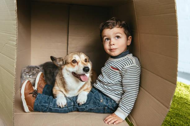 messa a fuoco selettiva del ragazzo con adorabile corgi e gatto longhair britannico seduto in scatola di cartone - bambino cane foto e immagini stock