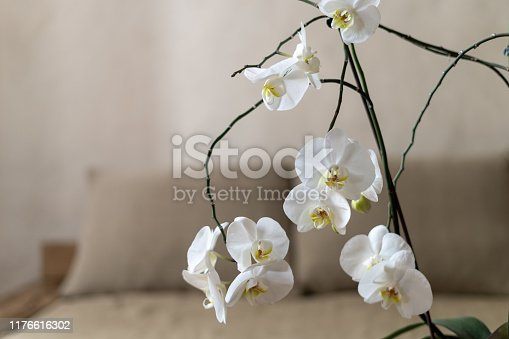 Selective focus of brunch beautiful, white and blossom orchid flower against blurred background with sofa near wall with copy space