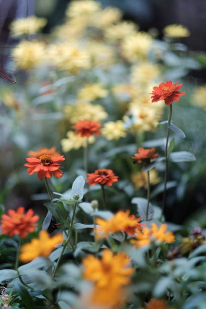 Selective focus of group of orange Zinnia over yellow Zinnia background stock photo