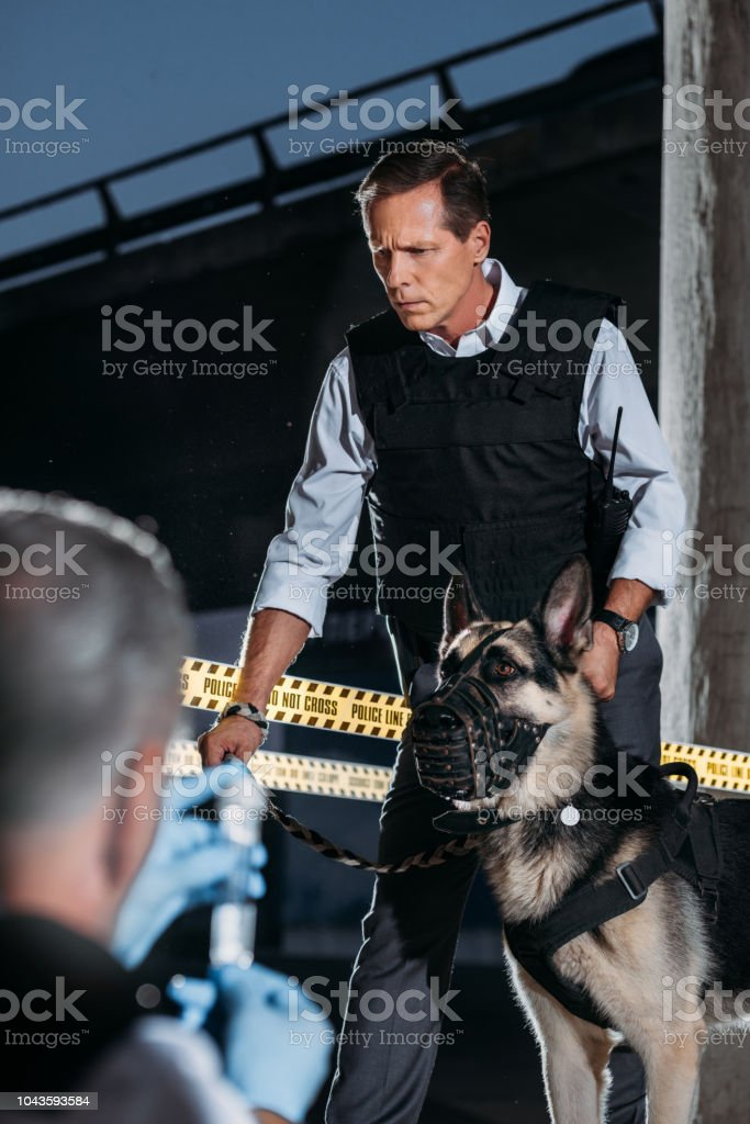 selective focus of mature policeman with german shepherd dog on leash while his colleague sitting near at crime scene stock photo