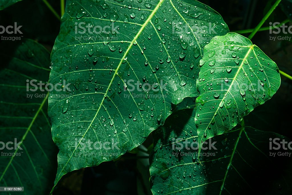 Selective focus of small green leaf with droplet stock photo