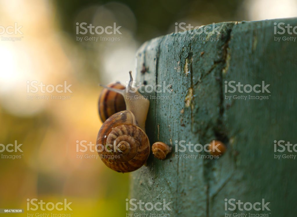 Selective focus of snail family enjoying on wood royalty-free stock photo