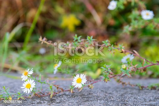 istock Selective focus of white flowers with defocused background 1093937764