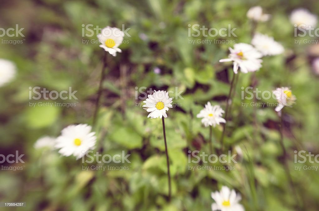 Selective focus on a daisies field royalty-free stock photo