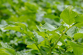 Selective focus on a fresh green organic potato plant in the field or vegetable garden with blurred green background. Agriculture and organic cultivation for health. Macro. Space.