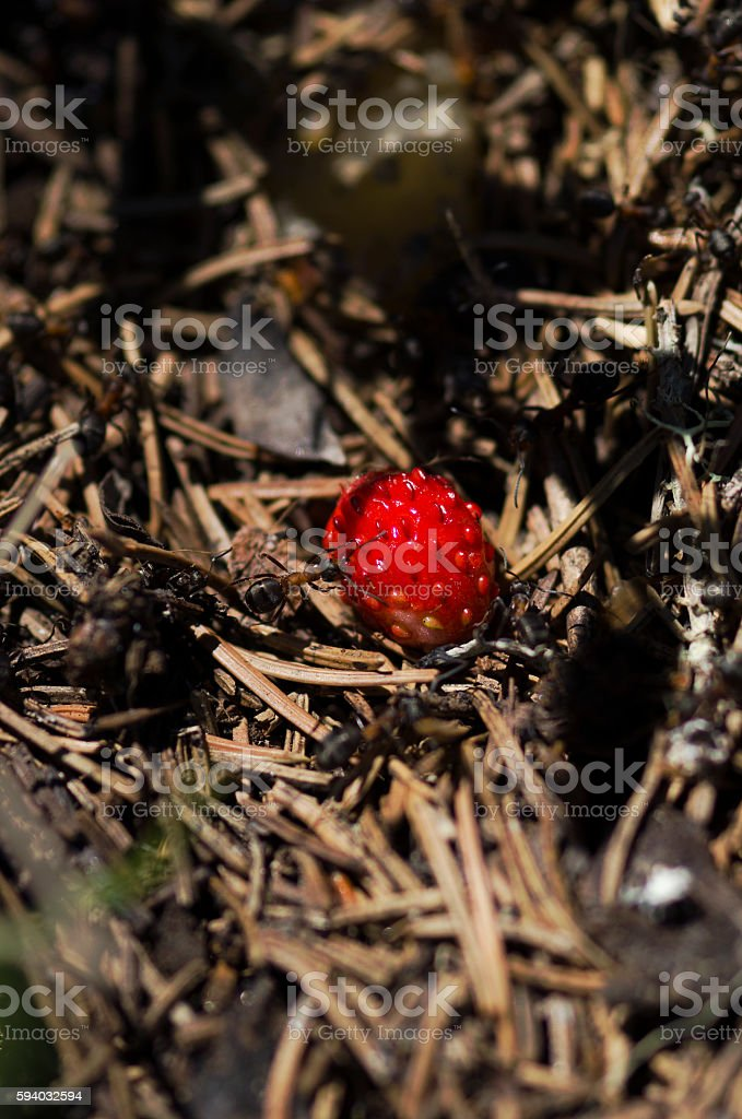 Selective focus on a wild strawberry in an anthill stock photo