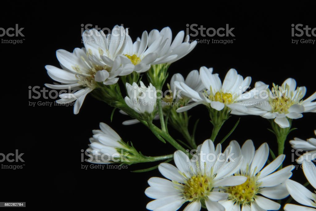 Selective focus on arrangement of white flowers on black background. stock photo