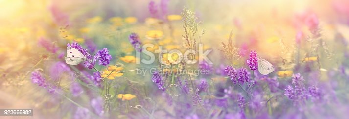 Selective focus on butterfly on lavender in meadow - beautiful nature