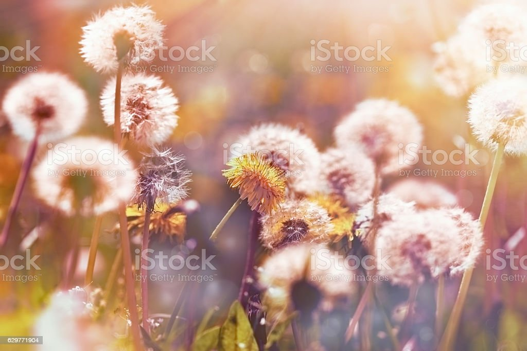 Selective focus on dandelion flower and dandelion seeds ( fluffy blow ball) stock photo