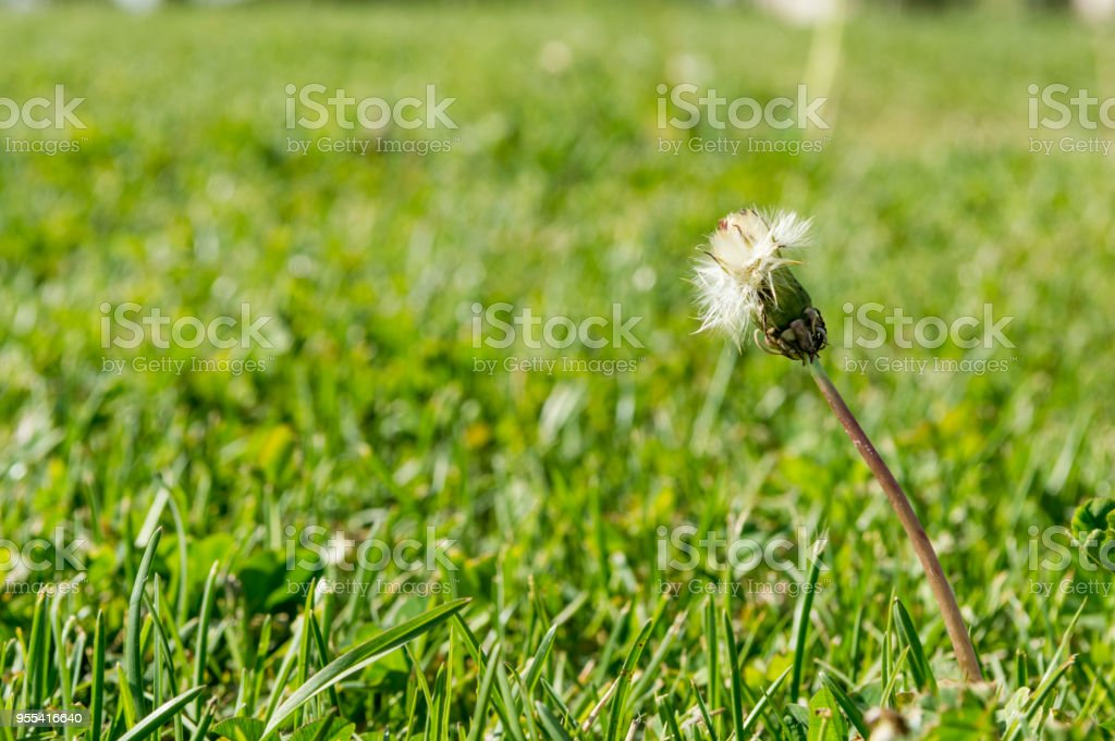 Selective focus on dandelion flowers on nature background.  Springtime in meadow. - Zbiór zdjęć royalty-free (Bez ludzi)