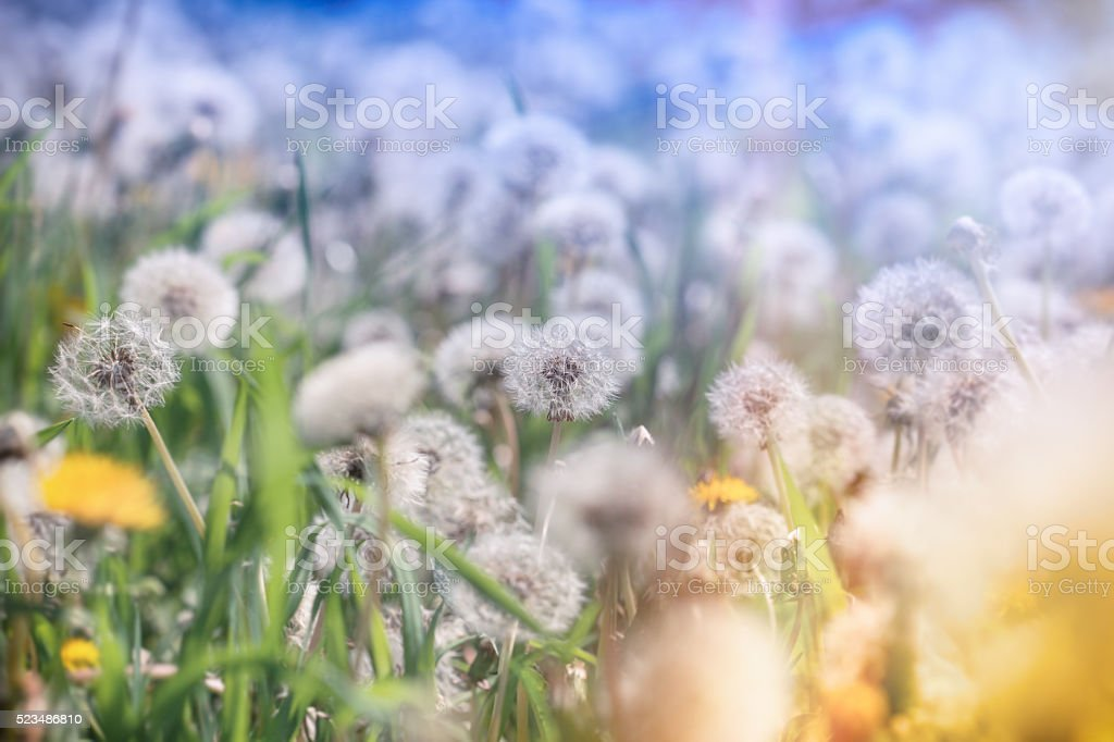 Selective focus on dandelion seeds in meadow stock photo