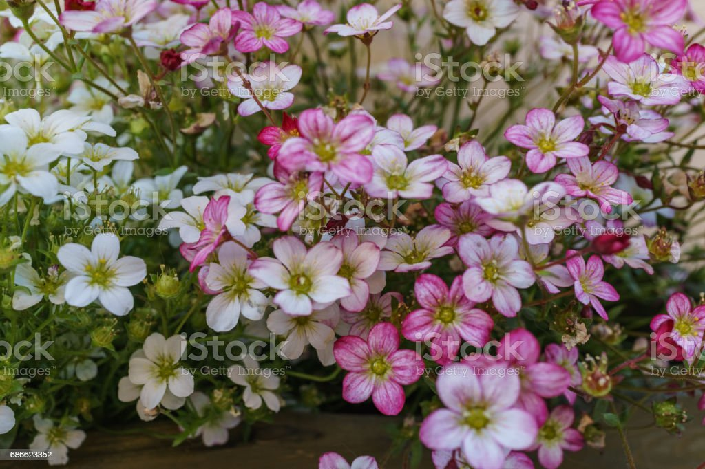 Selective focus on pink, magenta and white Rockfoil and Mossy flower in small garden royalty-free stock photo
