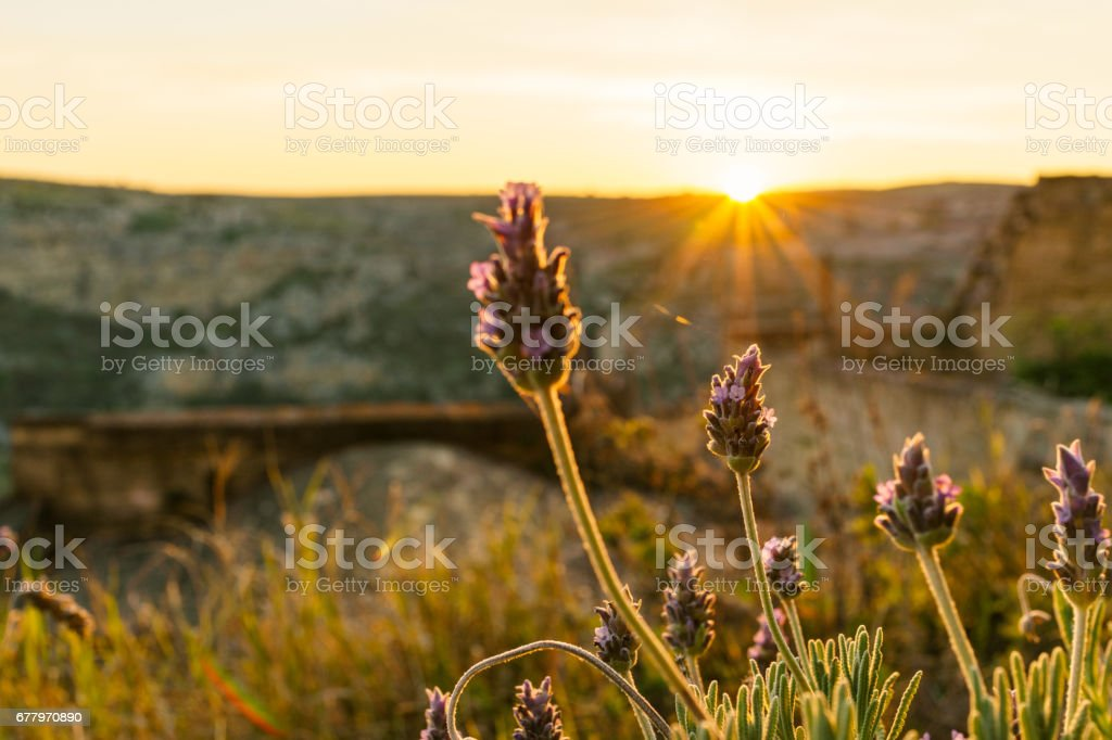 Selective focus on purple flowers in sunrise landscape with the rays of the sun in Spring, Italy royalty-free stock photo
