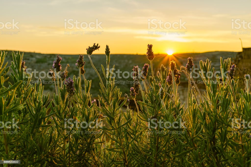 Selective focus on purple flowers in sunrise landscape with the rays of the sun in Spring, Italy Lizenzfreies stock-foto