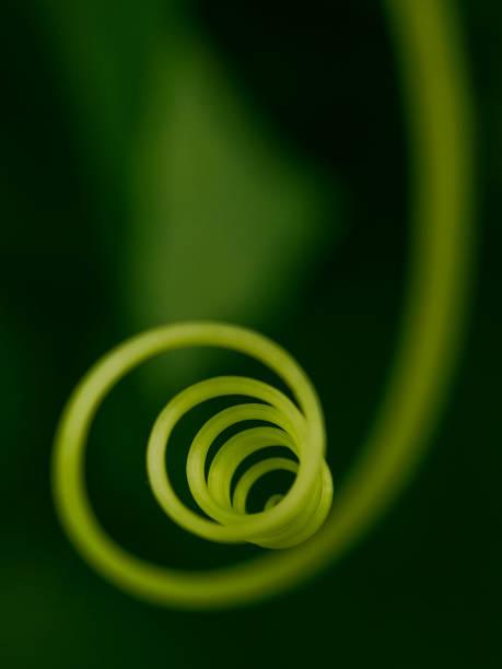 選擇性地關注黃瓜特寫的鬍子。植物的鬍子被扭曲成螺旋和環的形式。深綠色背景上具有強烈模糊效果的抽象圖像。複製空間。 - 黃金比例 個照片及圖片檔