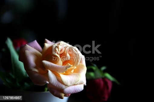 Selective focus on the profile of light pink, with falling red rose bud and dark background