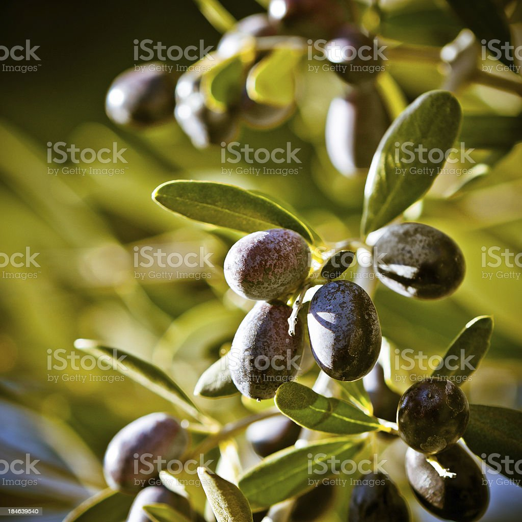 Selective Focus on Tuscan Olives, Italy stock photo