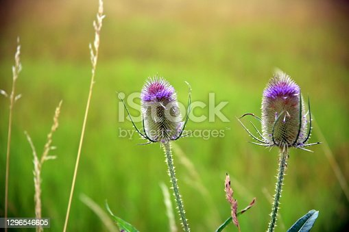 Selective focus on two thistles' inflorescences with blurred green background