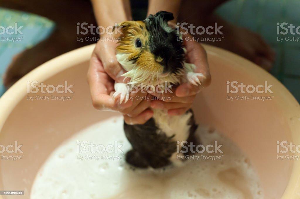Selektiven Fokus Auf Weiß, Schwarz, Orange Braun Meerschweinchen Ein Bad In  Der Badewanne Zu