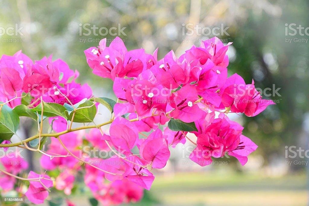 selective focus pink bougainvillea bunch in sunlight evening stock photo
