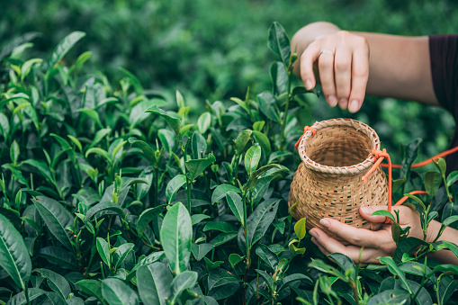 A selective focus shot of a female collecting tea leaves