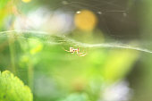 A selective focus shot of a spider crawling on the web upside down on a green background. Macro photo of an insect