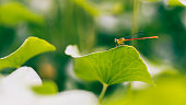 Selective focus small dragonfly on green leaf over blur nature background.