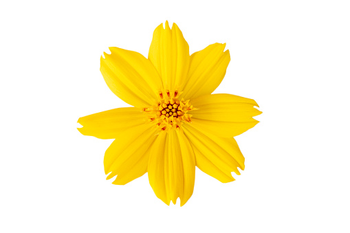 Selective focus Yellow flower, Cosmos flower isolated on a white background. File contains with clipping path.