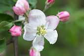 Selective focused macro photo of white apple tree blossom against blurred background. Spring seasonal romantic background