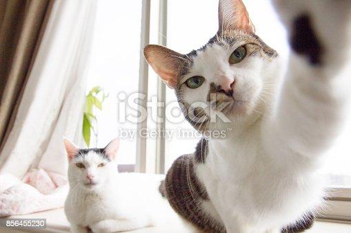istock Selfie Cats 856455230