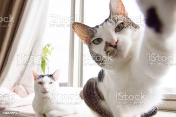 Selfie cats picture id856455230?b=1&k=6&m=856455230&s=612x612&h= 2a1gy5ndj881dbxio4vwepgo9cehuxtzg3k5l98wjm=