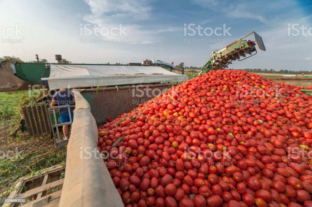 Self-propelled harvester collects tomatoes in trailer. Vegas Bajas del Guadiana, Spain stock photo