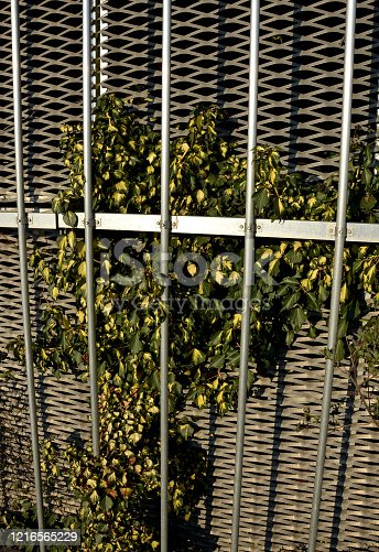 A self-sticking plant that does not fall Most inflorescences like hedera helix 'Goldheart' in summer, and its bright green leaves are interwoven with yellow 'hearts' in this case.