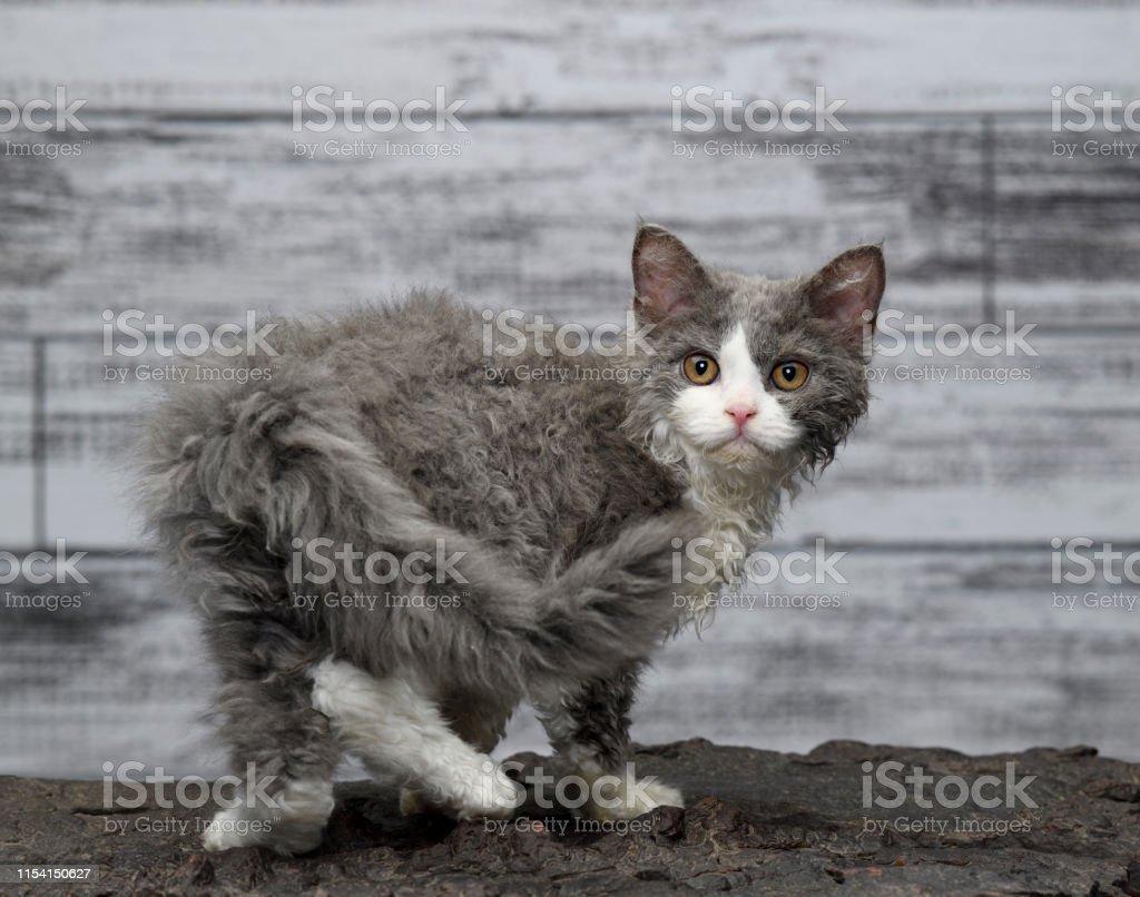 Selkirk Rex Cat Stock Photo Download Image Now Istock
